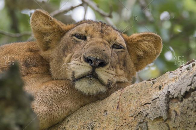 Africa, Uganda, Ishasha, Queen Elizabeth National Park. Lioness, (Panthera leo) in tree, resting on branch.