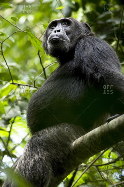 Africa, Uganda, Kibale National Park, Ngogo Chimpanzee Project. Wild male chimpanzee, 'Miles'.