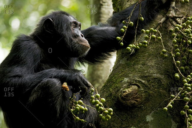 Africa, Uganda, Kibale National Park, Ngogo Chimpanzee Project. A male chimpanzee sitting in the crotch of a fig tree pauses during his meal to listen to the forest.