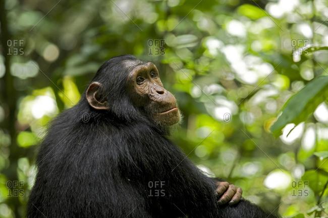 Africa, Uganda, Kibale National Park, Ngogo Chimpanzee Project. Young male chimpanzee, 'Django'.