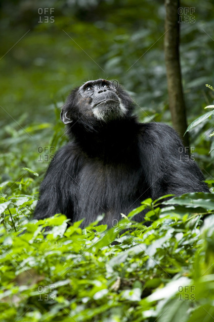 Africa, Uganda, Kibale National Park, Ngogo Chimpanzee Project. Male chimpanzee looks up into the canopy, 'Bartok'