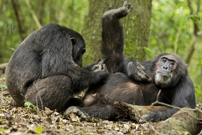 Africa, Uganda, Kibale National Park, Ngogo Chimpanzee Project. A trusting male chimpanzee relaxes as he is groomed with great focus by his companion.