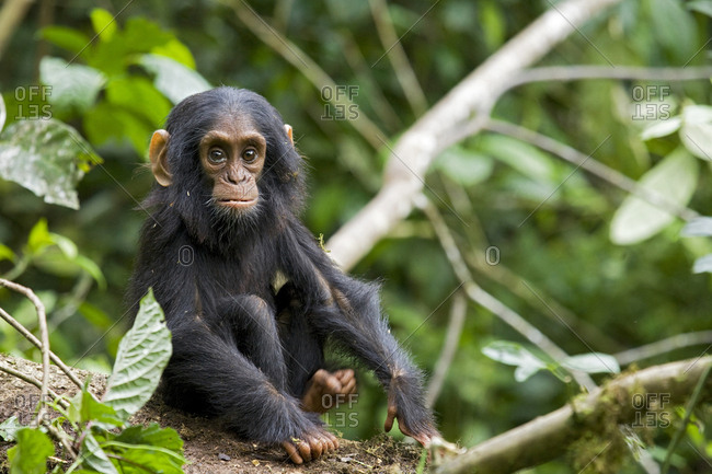 Africa, Uganda, Kibale National Park, Ngogo Chimpanzee Project. An infant chimpanzee pauses briefly during play.