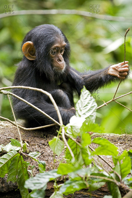 Africa, Uganda, Kibale National Park, Ngogo Chimpanzee Project. An infant chimpanzee plays with a stick.