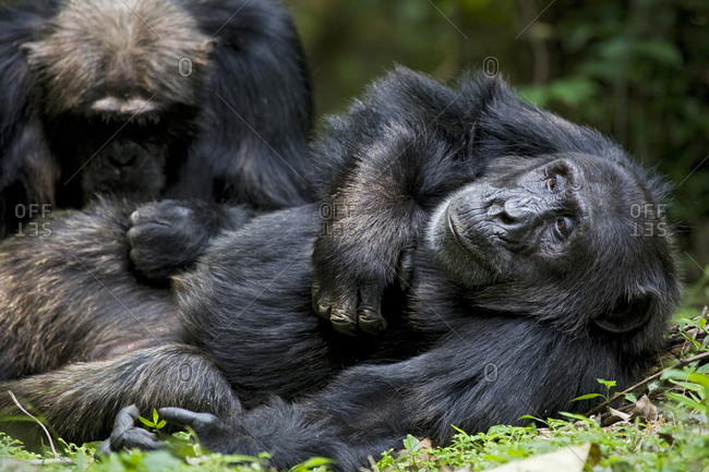Africa, Uganda, Kibale National Park, Ngogo Chimpanzee Project. The alpha male chimpanzee relaxes as he is groomed.