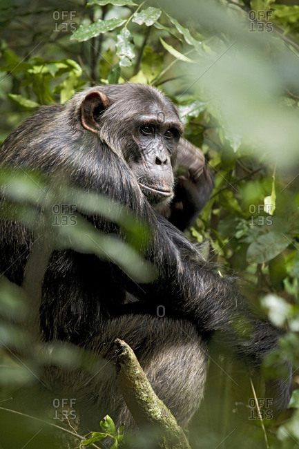 Africa, Uganda, Kibale National Park, Ngogo Chimpanzee Project. A male chimpanzee sits scratching the side of his head.