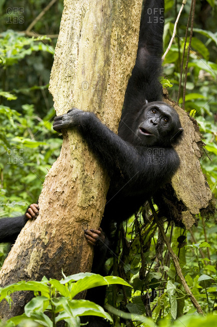 Africa, Uganda, Kibale National Park, Ngogo Chimpanzee Project. A female chimpanzee and her offspring eat the dead wood of a decaying tree trunk.