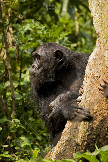 Africa, Uganda, Kibale National Park, Ngogo Chimpanzee Project. A female chimpanzee eats dead wood from a decaying tree trunk with her offspring.