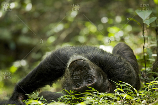 Africa, Uganda, Kibale National Park, Ngogo Chimpanzee Project. A young adult male chimpanzee lying down on forest path.