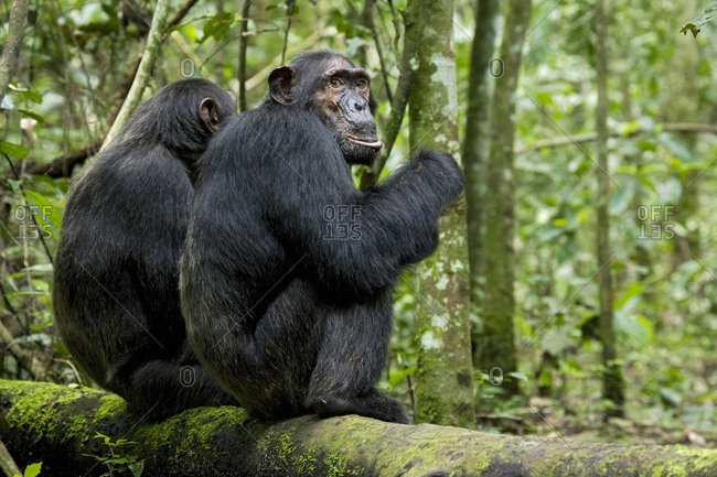 Africa, Uganda, Kibale National Park, Ngogo Chimpanzee Project. Two male chimpanzees in the forest waiting for the rest of their group.