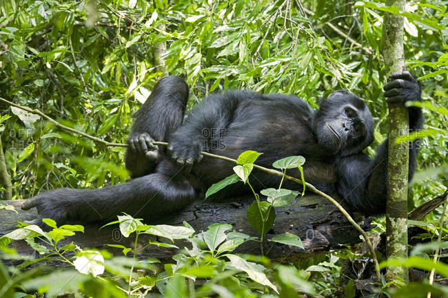 Africa, Uganda, Kibale National Park, Ngogo Chimpanzee Project. A male chimpanzee lounges in the forest.