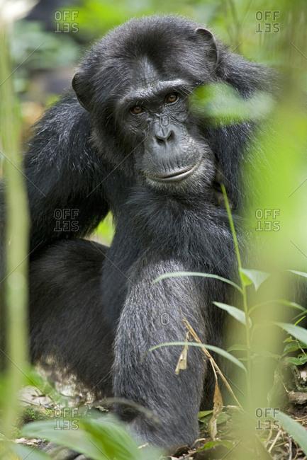 Africa, Uganda, Kibale National Park, Ngogo Chimpanzee Project. A wild male chimpanzee.