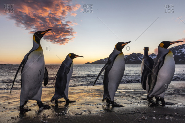 South Georgia Island, St. Andrew's Bay. King penguins emerge from water at sunrise.