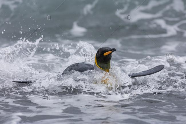 South Georgia Island, Salisbury Plains. King penguin emerges from ocean.