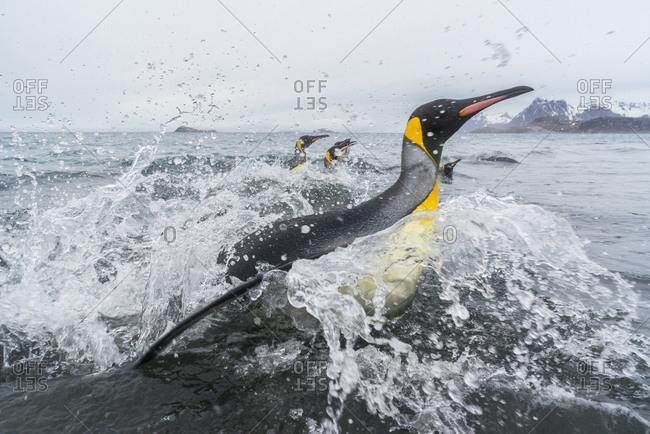 South Georgia Island, Salisbury Plains. King penguins emerge from water onto beach.