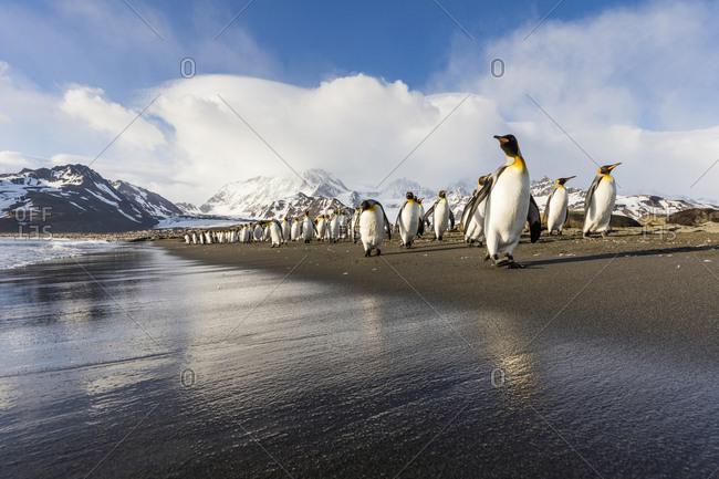 South Georgia Island, St. Andrew's Bay. King penguins walk on beach at sunrise.