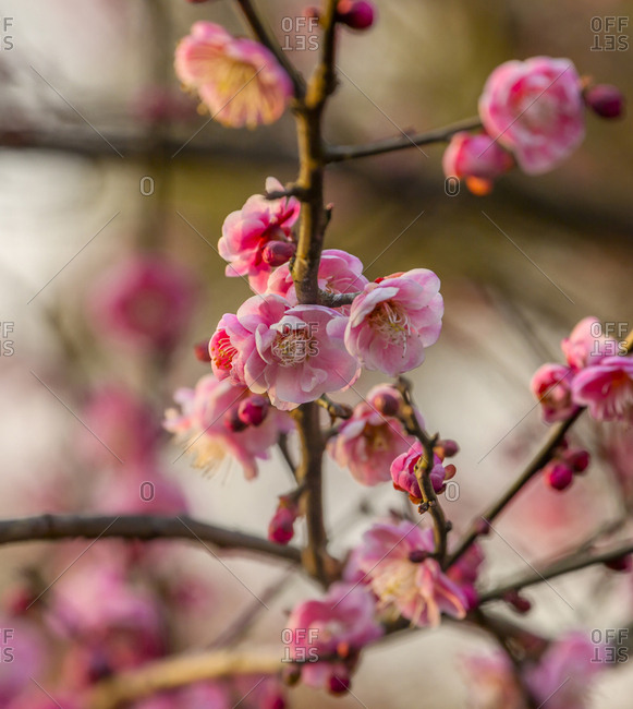 Plum Blossoms, West Lake Jiangsu Province, China.