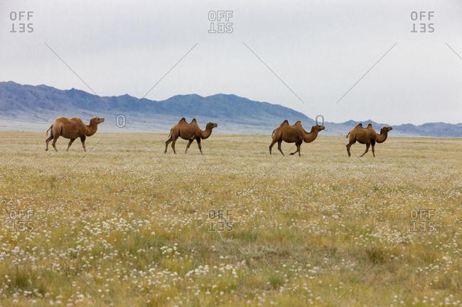 Bactrian Camel Herd. Gobi Desert. Mongolia.