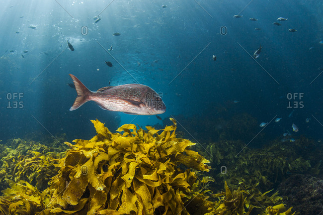 A large snapper swims above a bed of kelp taken near Poor Knights Islands off the North Island of New Zealand.
