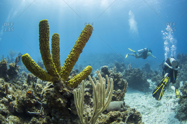 Green tube soft corals are in the foreground and a pair of divers in the background, Isle of Youth, Cuba