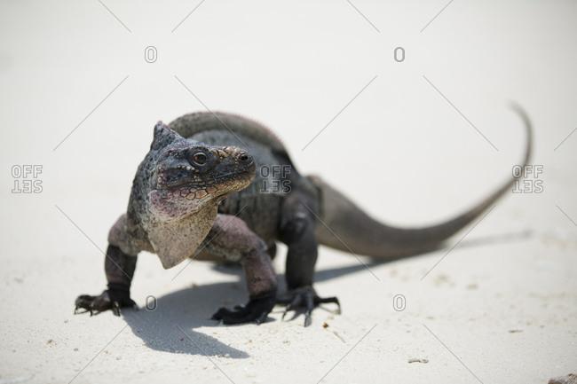 Iguana on the beach near Staniel Cay, Exuma, Bahamas