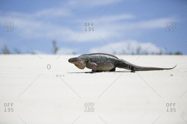 An iguana rests on the beach near Staniel Cay, Exuma, Bahamas