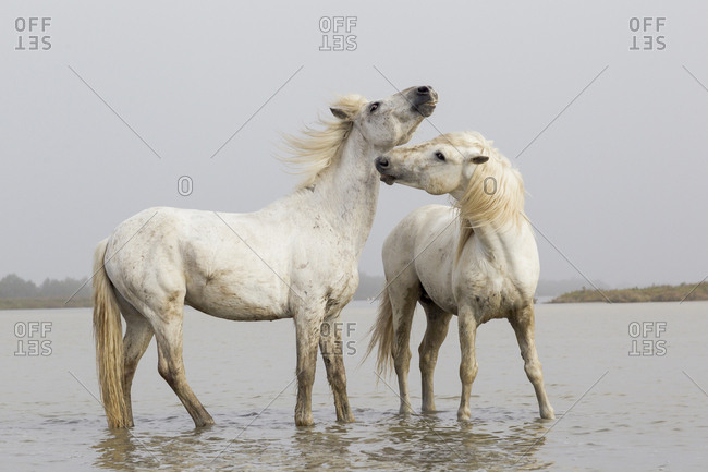 France, The Camargue, Saintes-Maries-de-la-Mer, Two Camargue stallions interacting.