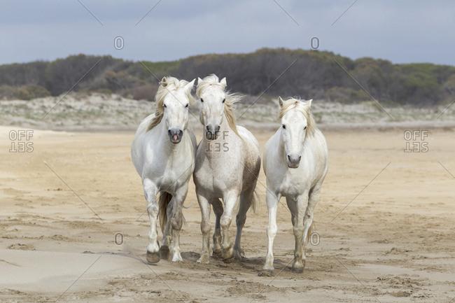 France, The Camargue, Mediterranean Sea, Saintes-Maries-de-la-Mer, Camargue horses running along the beach near the Mediterranean Sea.
