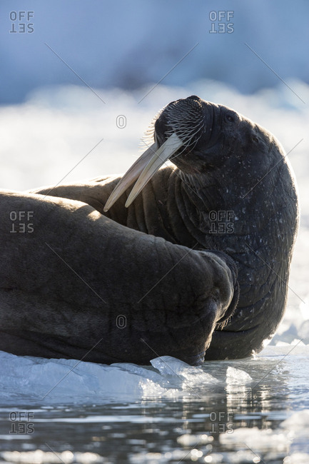 Norway, Svalbard, Spitsbergen. Close-up of walruses on ice.