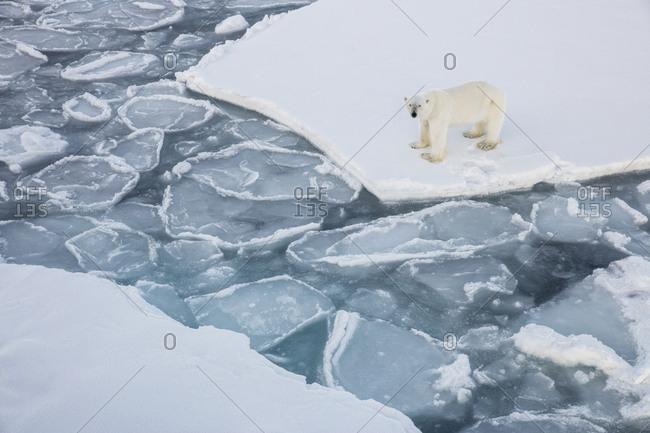 Norway, Svalbard, Spitsbergen. Polar bear stands on sea ice.