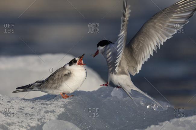 Norway, Svalbard, Spitsbergen. Arctic tern feeds baby on ice.