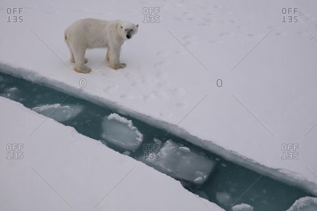 Norway, Svalbard, Spitsbergen. Polar bear on sea ice.