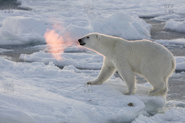 Norway, Svalbard, Spitsbergen. Polar bear with backlit breath.