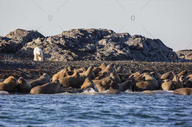 Norway, Svalbard, Storoya. Polar bear nears walruses on beach.