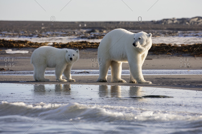 Norway, Svalbard, Storoya. Polar bear mother and cub walk on beach.