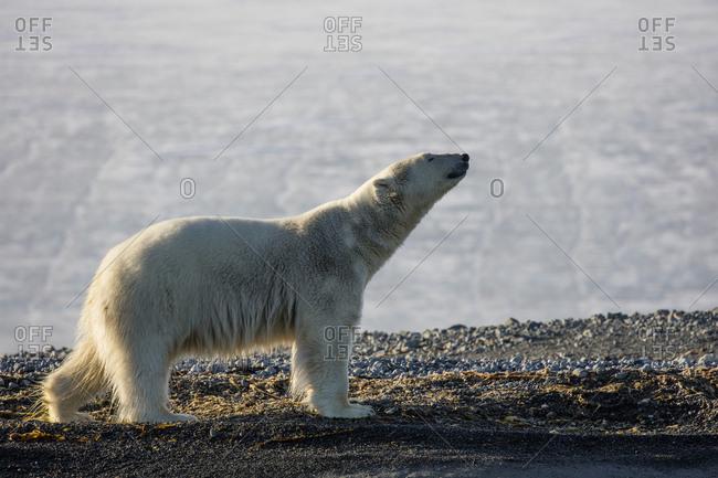 Norway, Svalbard, Storoya. Very lean polar bear walks along ridgeline.