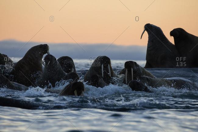Norway, Svalbard, Kvitoya. Walrus swim by beach at sunset.