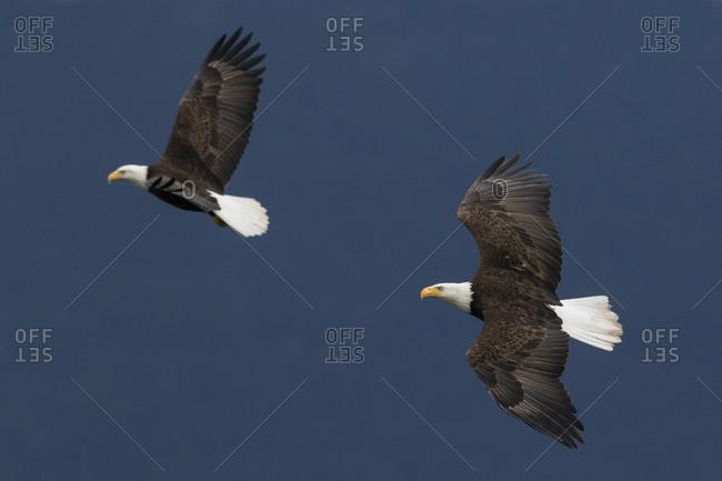 Bald Eagle Pair flying