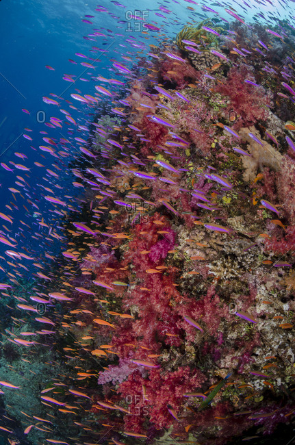 Fiji. Reef with coral and Anthias.