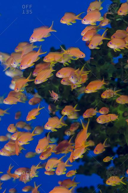 Fiji. Schooling scalefin anthia fish.