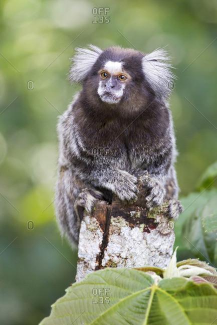 Brazil, Sao Paulo, Common marmosets in the trees.
