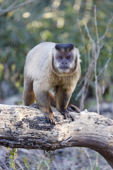Brazil, Mato Grosso, The Pantanal, Brown capuchin monkey on a tree (Cebus apella).
