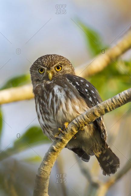Brazil, Mato Grosso, The Pantanal, ferruginous pygmy owl (Glaucidium brasilianum) in a tree.