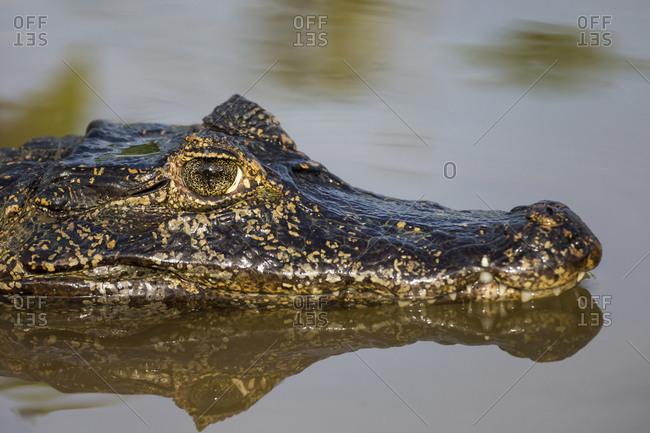 Brazil, Mato Grosso, The Pantanal, Rio Cuiaba, black caiman (Caiman niger) head and reflection.