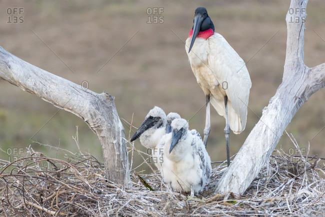 Brazil, Mato Grosso, The Pantanal, Santa Tereza Ranch, jabiru (Jabiru Mycteria) with chicks in the nest.
