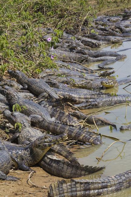 Brazil, Mato Grosso, The Pantanal, The Transpantaneira Highway, black caiman (Caiman niger).