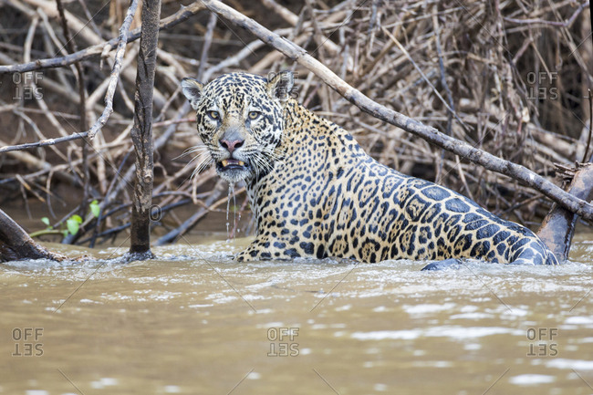 Brazil, Mato Grosso, The Pantanal, Rio Cuiaba, jaguar (Panthera onca) in Cuiaba River after failed caiman hunt.