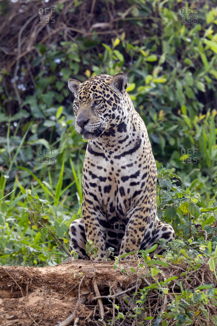 Brazil, Mato Grosso, The Pantanal, jaguar (Panthera onca) resting on the bank of the Cuiaba River.