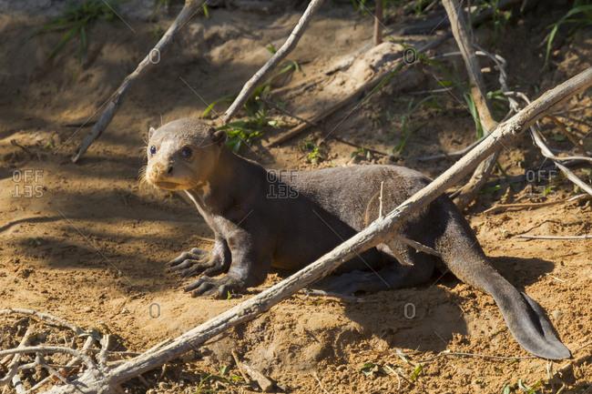 Brazil, Mato Grosso, The Pantanal, giant otter (Pteronura brasiliensis) on river bank.