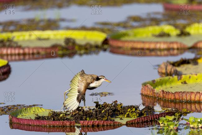 Brazil, Mato Grosso, The Pantanal, Porto Jofre, Wattled jacana, immature (Jacana jacana), giant lily pads (Victoria amazonica).